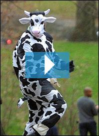 Jonathan Payton (cow)